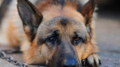 Лептоспироз у собак: симптомы, причины, лечение