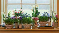 Как вырастить весенние цветы в домашних условиях