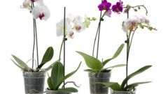 How to repot an Orchid at home