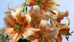 Характеристика популярных гибридных лилий