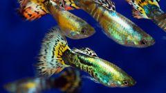 Гуппи и телескопы - рыбки с неприхотливым характером