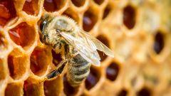 Пчелиный яд: полезные свойства, лечение, противопоказания