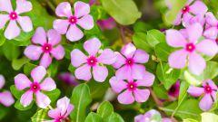 Цветок барвинок: полезные свойства, применение в народной медицине