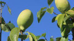Азиатские фрукты: полезная и вкусная китайская айва