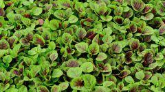 Амарант: лечебные свойства семян и листьев