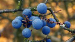 В чем польза и вред плодов терна?