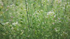 Кладезь полезных для женщин веществ - трава пастушьей сумки. Особенности применения
