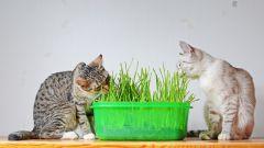 Котовник полезная травка, обладающая замечательными свойствами