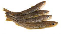 Навага: питательная рыба с полезными свойствами