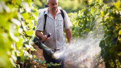 Обработка винограда: избавляемся от болезней