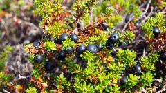 Северная вороника: черная ягода, обладающая лечебными свойствами