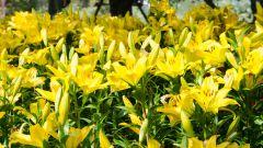 Сохраняем лилии от холодов. Нужно ли выкапывать луковицу лилий на зиму?
