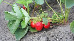 Уход за клубникой: советы садоводам-огородникам