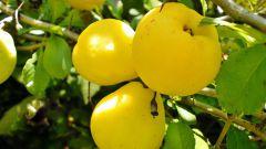 Айва - ароматный и полезный фрукт