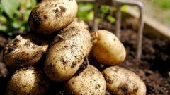 Как вырастить картофель из очисток