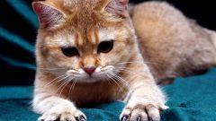Как самостоятельно подстричь кошке когти