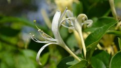 How to grow honeysuckle on a country site