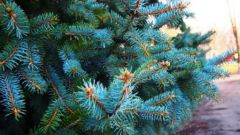How to use the unique properties of coniferous plants for beauty and health