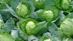 Популярные ранние сорта белокочанной капусты
