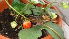 How to grow strawberries on the window sill or balcony