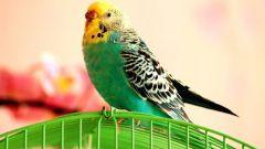 Как быстро научить говорить попугая в домашних условиях?