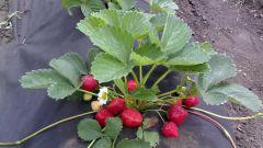 Как вырастить рассаду земляники в торфяных горшочках