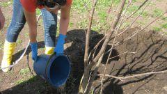 Как сажать в саду яблоню