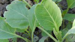 Как высаживать семена капусты на рассаду