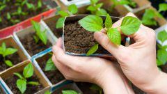 Основные ошибки при выращивании рассады перца
