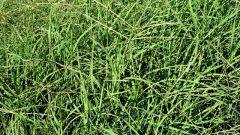 Выращивание многолетних трав