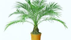 Как вырастить дома финиковую пальму из косточки