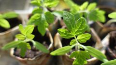 When to plant peppers, cucumbers and tomatoes seedlings in 2016