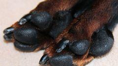 Как подстричь когти собаке в домашних условиях