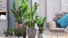 Как вырастить замиокулькас из листика