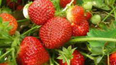 Земляника садовая - агротехника