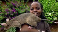 Гигантские крысы помогают человечеству