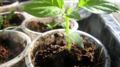 Важные правила выращивания рассады