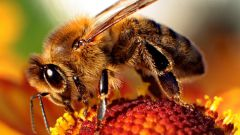 Bee sting, wasp or bumblebee: first aid
