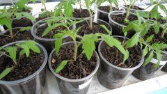 Как приготовить рассаду томатов