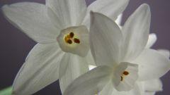 Цветок сливы и нарцисс - символы процветания и китайского Нового года