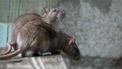 Как вывести мышей и крыс