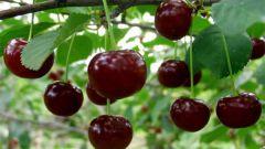 Болезни вишни: профилактика и борьба