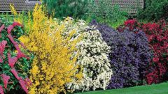 How to choose a flowering shrub for the garden