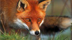 Рыжая лисица: интересные особенности