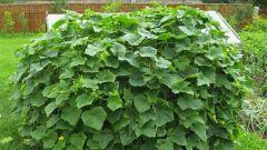 Выращивание огурцов на шпалерах и в бочках