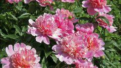 Как вырастить красивый куст пионов