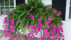 How to pinch back petunias: basic rules