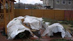 Розы после зимовки - снятие зимнего укрытия