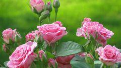 Подробные рекомендации по посадке роз