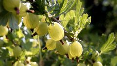 How to make wine of gooseberries with cherries